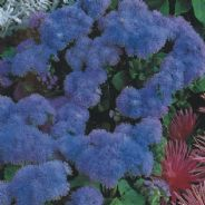 Ageratum Mauritius F1 - approx 100 seeds